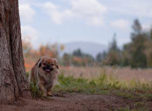 כלב פקינז - לדוגמה